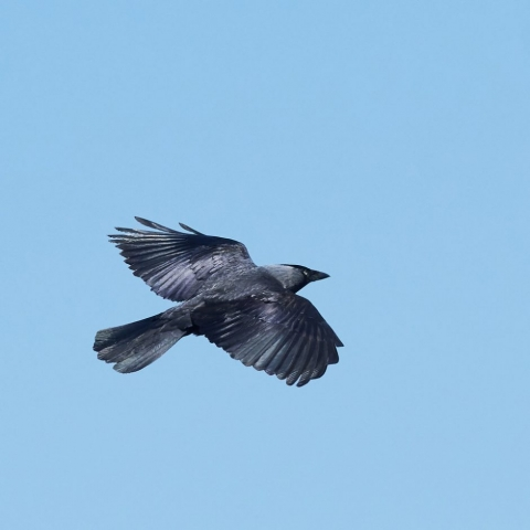 Jackdaw by Martin Bennett - Apr 30th, Furze Hill