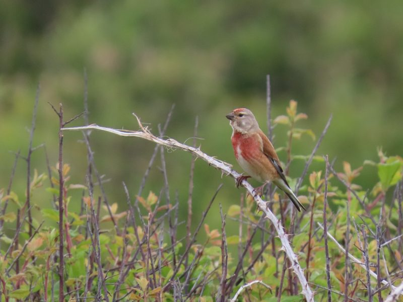 Linnet by Kay Shillitoe - May 19th, Titchfield Haven