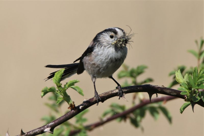 Long-tailed Tit by Andy Tew - Apr 23rd, Fishlake Meadows