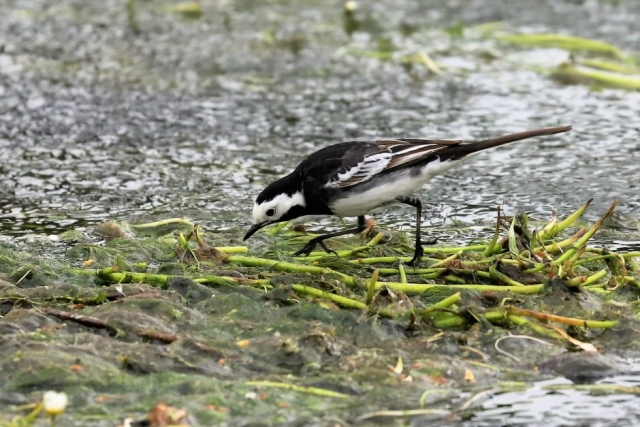 Pied Wagtail by Brian Cartwright - May 19th, Anton Lake