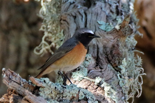 Redstart by Andy Tew - May 18th, Pigbush NF