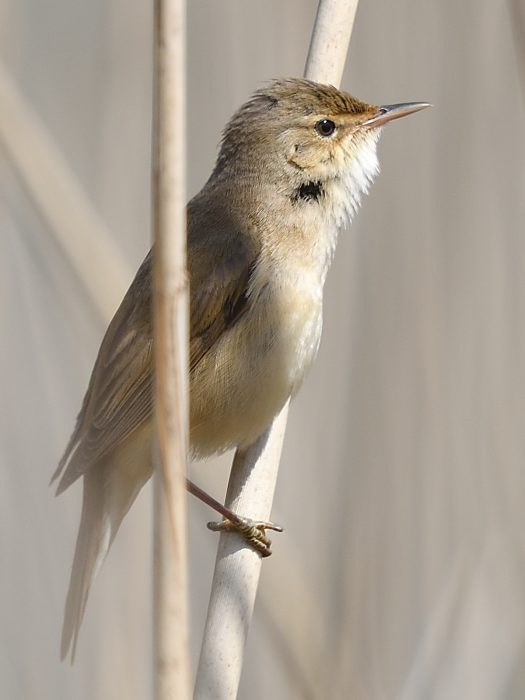 Reed Warbler by Tony Brown - May 2nd, Edenbrook CP