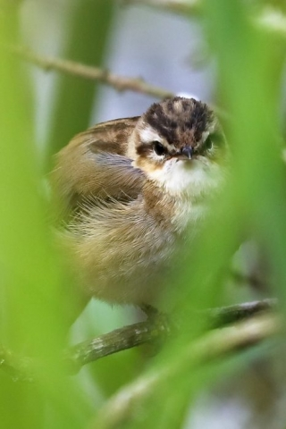 Sedge Warbler by Brian Cartwright - May 19th, Anton Lake