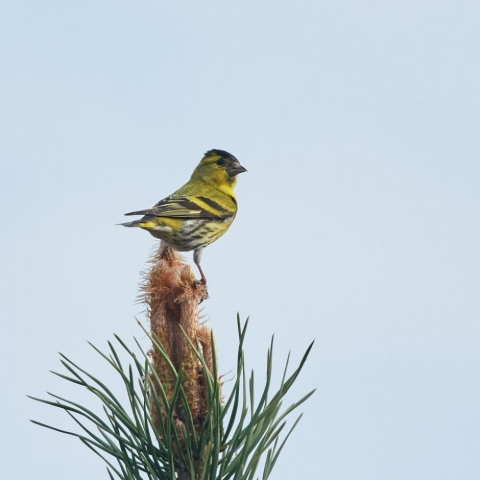 Siskin by Martin Bennett - Apr 26th, Furze Hill