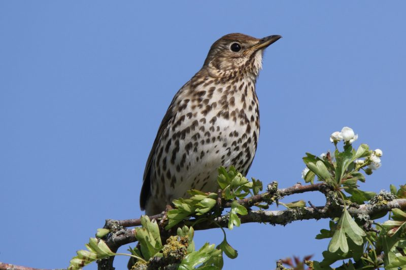 Song Thrush by Andy Tew - May 7th, Romsey