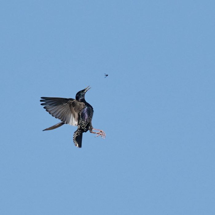 Starling by Martin Bennett - Apr 22nd, Furze Hill