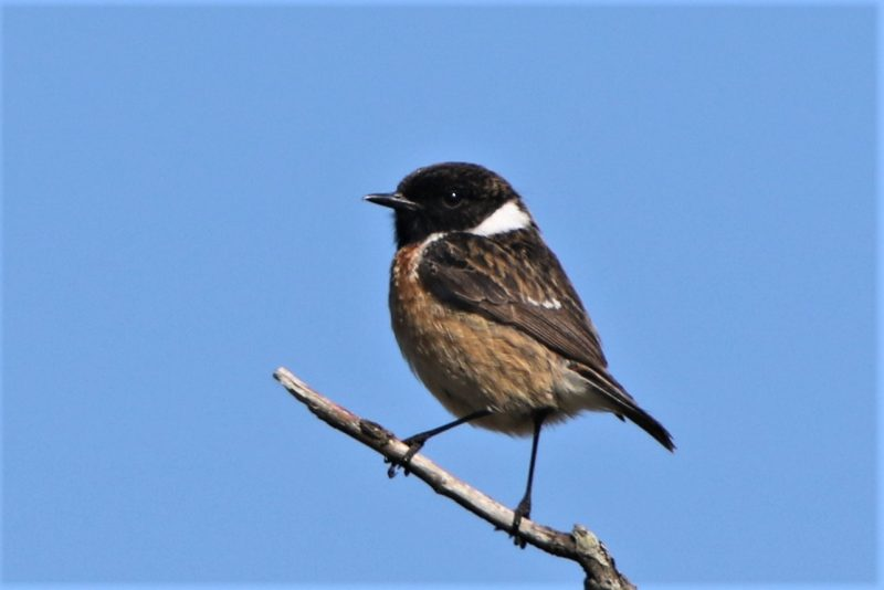 Stonechat by Andy Tew - May 18th, Pigbush NF