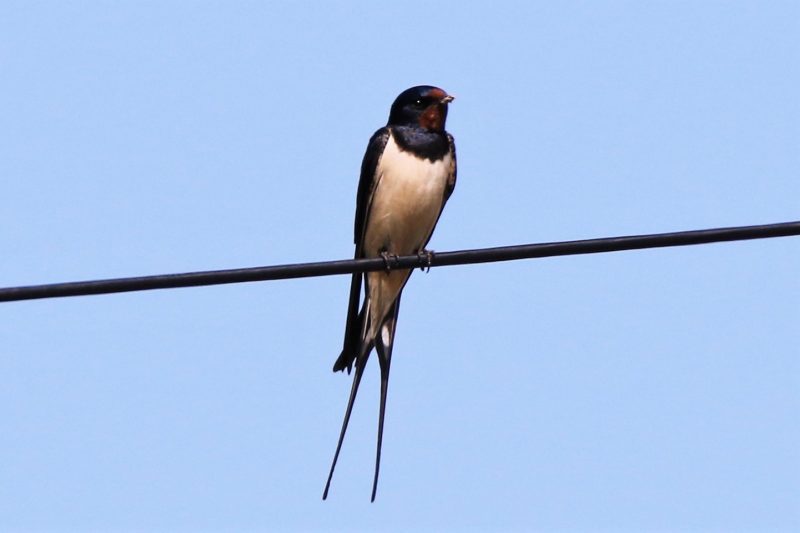 Swallow by Andy Tew - May 7th, Romsey