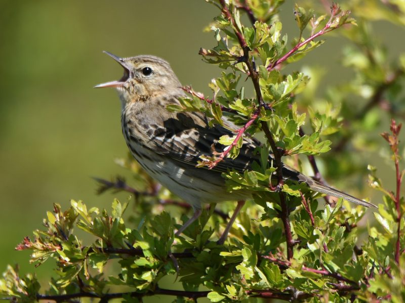 Tree Pipit by Dave Levy - May 15th, Burkham