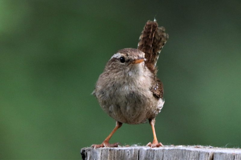 Wren by Andy Tew - May 19th, Romsey