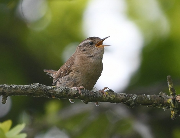 Wren by Dave Levy - May 8th, Basingstoke