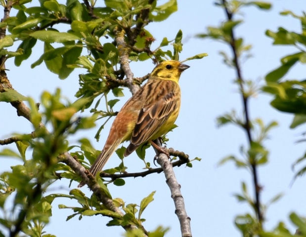 Yellowhammer by Dave Levy - May 8th, Basingstoke