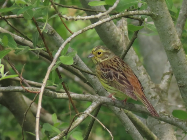 Yellowhammer by John Shillitoe - May 13th, Wickham Common