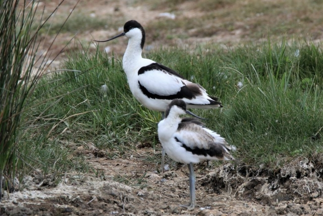 Avocet by Andy Tew - June, Hampshire