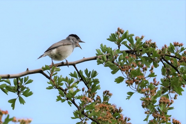Blackcap by Brian Cartwright - May 24th, Anton Lakes