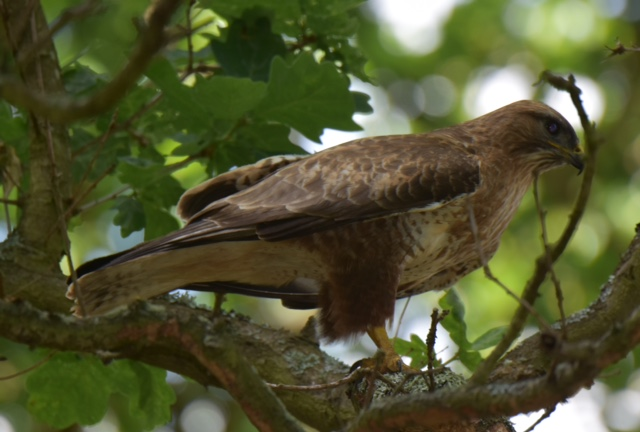 Buzzard by Peter Hyde - Jun 10th, Hamble Common