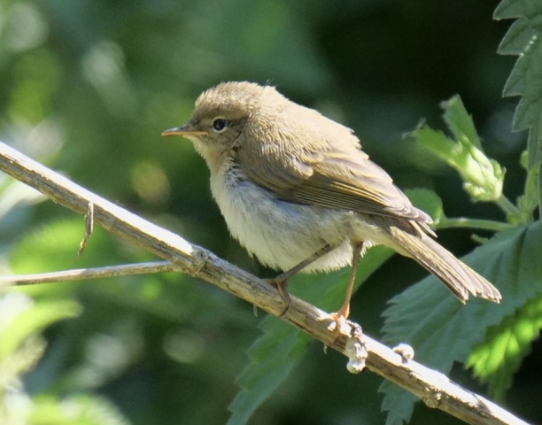 Chiffchaff by Rob Porter-June 15th, Nursling