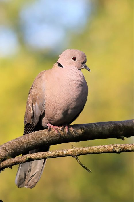 Collared Dove by Brian Cartwright - Jun 13th, Anton Lakes