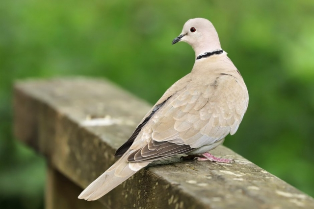 Collared Dove by Brian Cartwright - May 24th, Anton Lakes