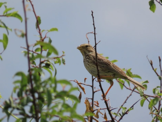 Corn Bunting by John Shillitoe - Jun 9th, Martin Down