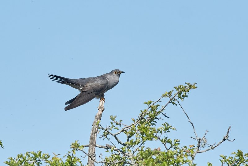Cuckoo by Martin Bennett - May 23rd, Furze Hill, NF