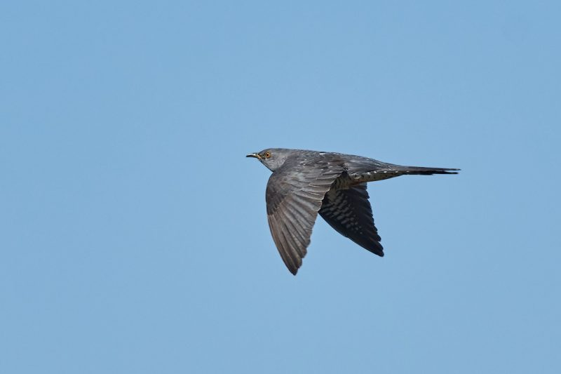 Cuckoo by Martin Bennett - May 23rd, Furze Hill