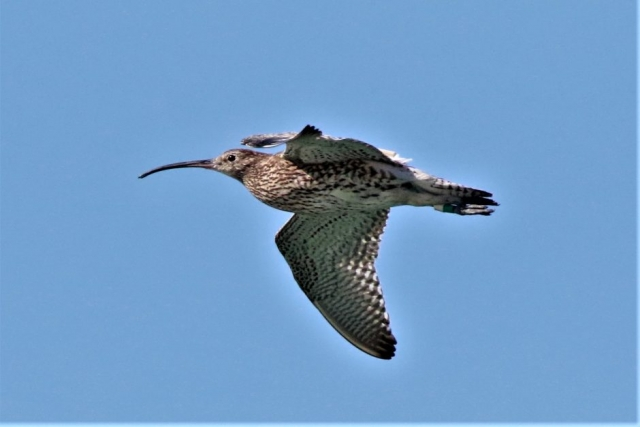 Curlew by Andy Tew - Jun 13th, Milford on Sea