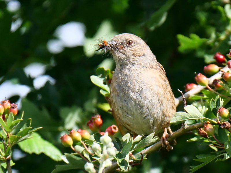 Dunnock by Rob Porter-June 13th, Lower Test Marshes