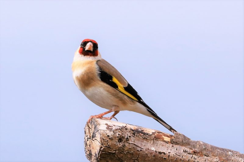 Goldfinch by Brian Cartwright - Jun 7th, Anton Lakes