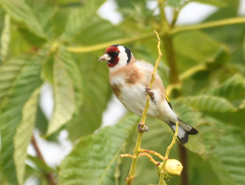 Goldfinch by Dave Levy - Jun 9th, Basingstoke