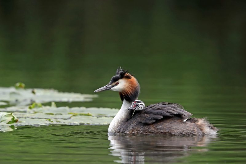 Great Crested Grebe by Richard Jacobs - Jun 4th,Timsbury