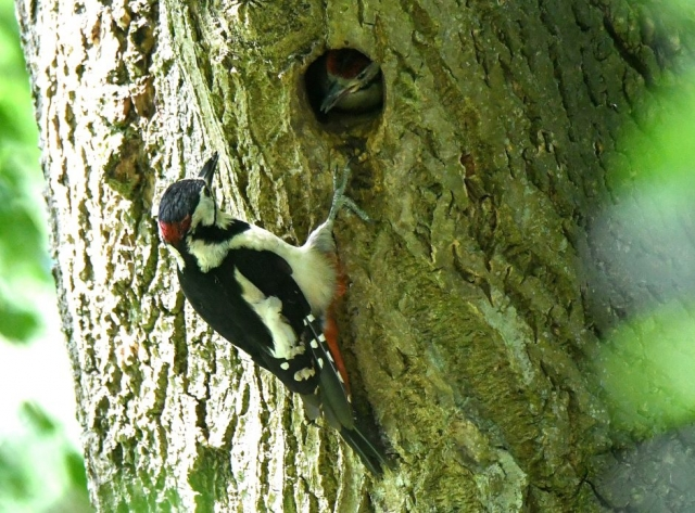 Great Spotted Woodpecker by Dave Levy - Jun 9th, Basingstoke
