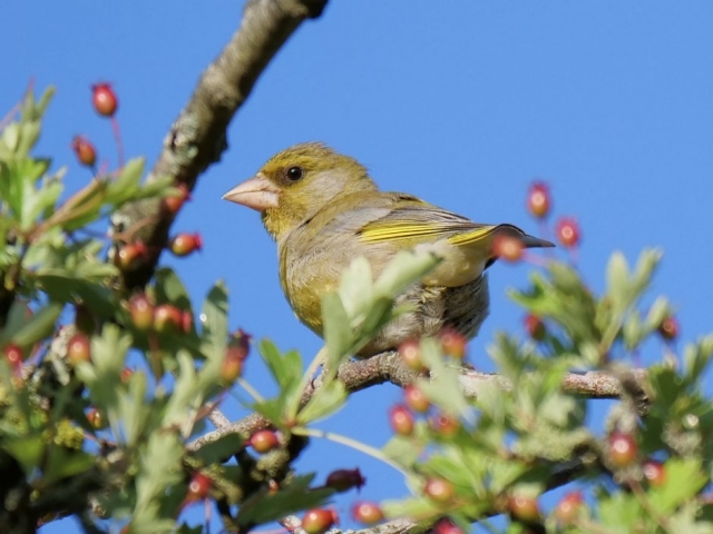 Greenfinch by Rob Porter-June 13th, Lower Test Marshes