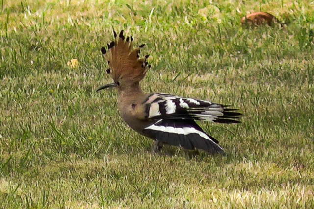 Hoopoe fom Brenda Hargreaves - June, Hampshire