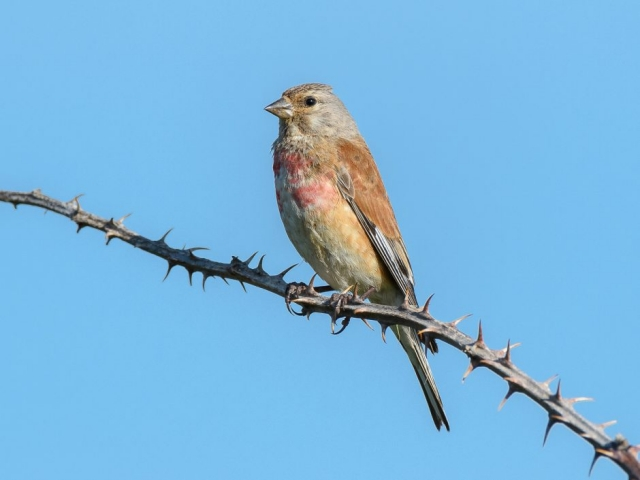 Linnet by Gareth Rees - Jun 7th, Pennington Marsh