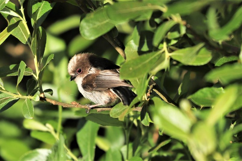 Long-tailed Tit by Brian Cartwright - Jun 6th, Anton Lakes