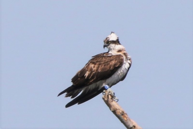 Osprey by Andy Tew - May 28th, Fishlake meadows