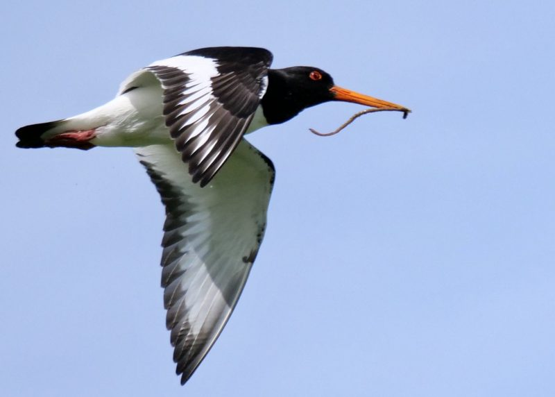 Oystercatcher by Rob Porter-June 7th, Lower Test Marshes