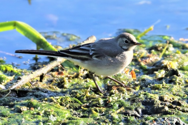 Pied Wagtail by Brian Cartwright - Jun 6th, Anton Lakes