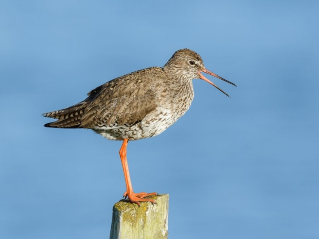 Redshank by Gareth Rees - Jun 13th, Keyhaven Marsh