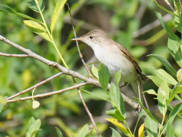 Reed Warbler by Rob Porter-May 27th, Lower Test Marshes