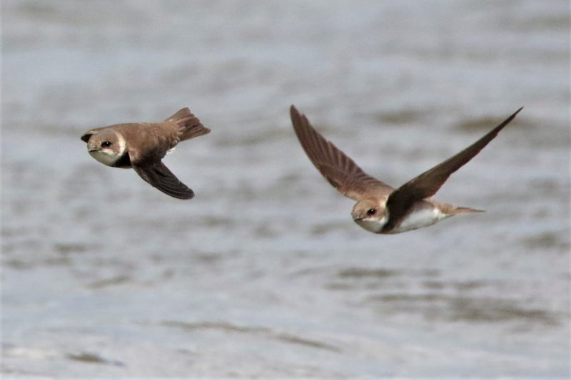 Sand Martin by Andy Tew - Jun 5th, Pennington