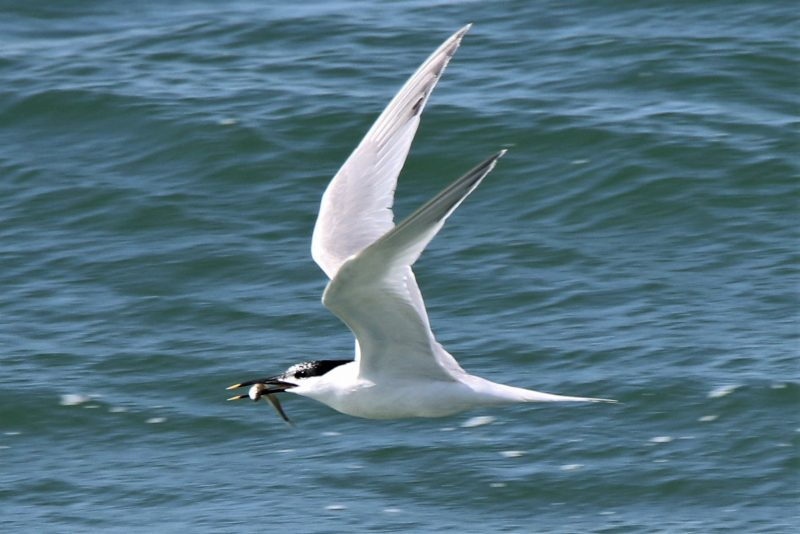 Sandwich Tern by Andy Tew - Jun 13th, Milford on Sea