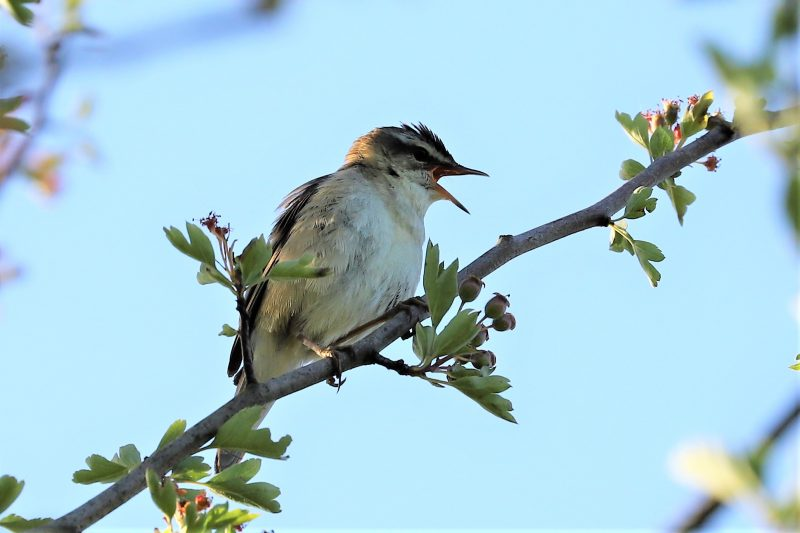 Sedge Warbler by Brian Cartwright - May 31st, Anton Lakes