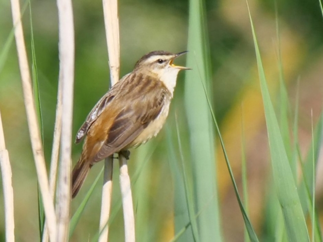 Sedge Warbler by Rob Porter-May 27th, Lower Test Marshes