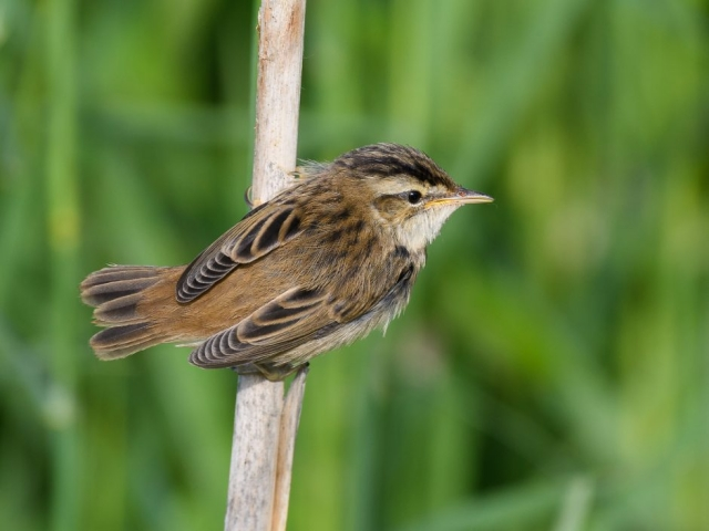 Sedge Warbler by Gareth Rees - Jun 8th, Fishlake Meadows