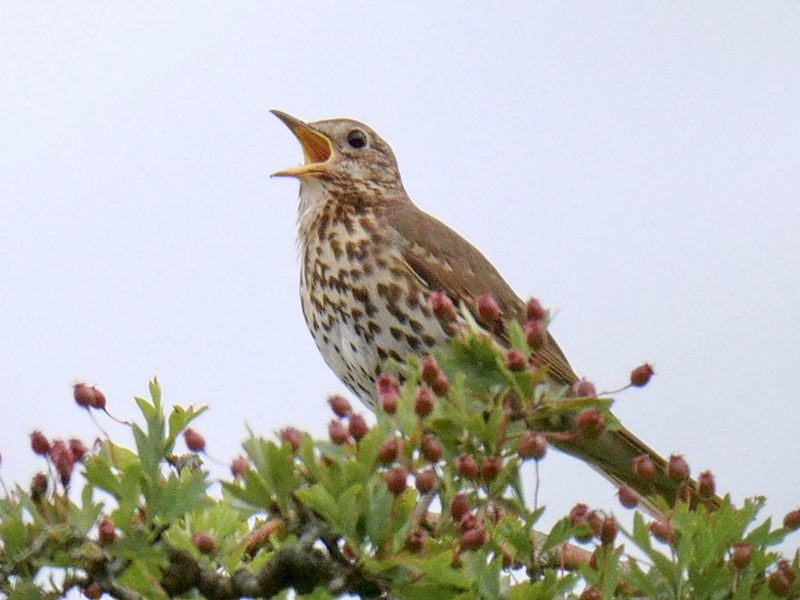 Song Thrush by Rob Porter-June 20th, Lower Test Marshes