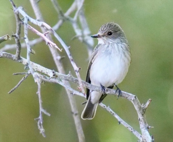 Spotted Flycatcher by Rob Porter-June 1st, Pig Bush, N.F