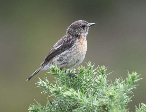 Stonechat by Dave Levy - Jun 15th, Pamber Heath