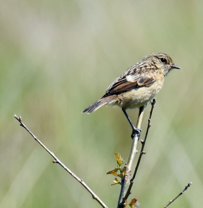 Stonechat by Peter Hyde - Jun 1st, Hamble Common